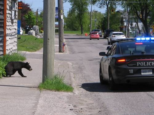 [Bear being chased by police through the streets of Sault Sainte Marie]
